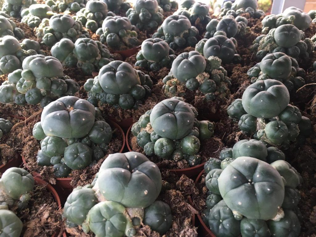Peyote /Mescal Button/Lophophora williamsii | Zoom's ... |Peyote Cactus